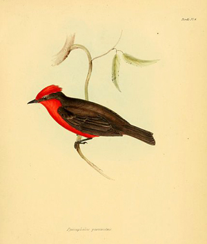 vermeilion flycatcher