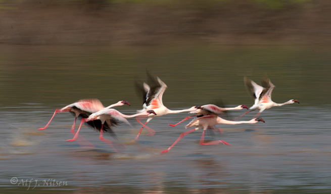 flamingos lake bogoria