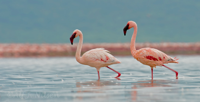 lesser flamingos lake bogoria