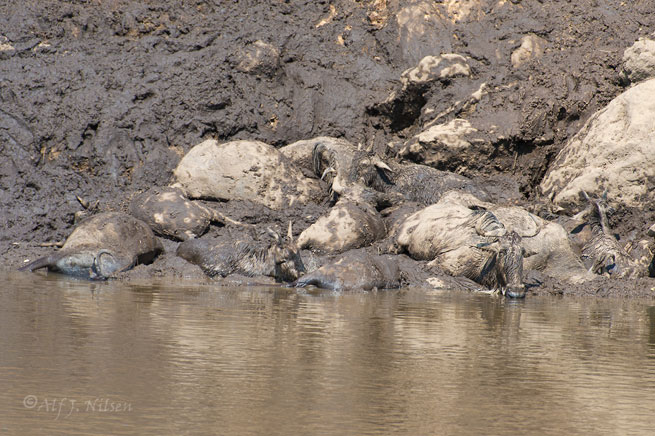 wildebeest river crossing mara river