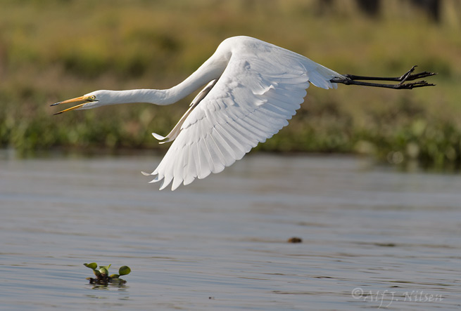 Great Egret Lake Naivasha